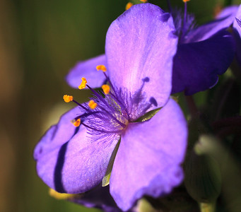 Spiderwort ~ Sherburne NWR