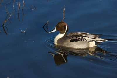 Northern Pintail  Merced NWR