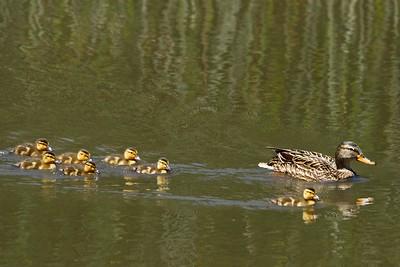 Ducks 6-24 3691