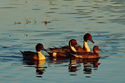Pintail Ducks Sacramento Valley