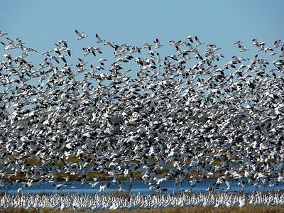 Snow Geese  Merced NWR