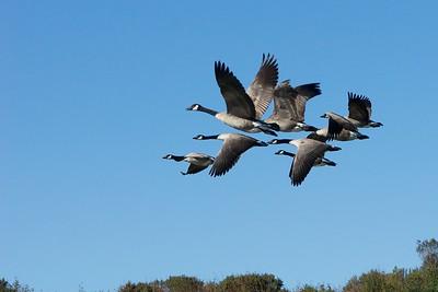 Geese / Cranes / Swans/Storks