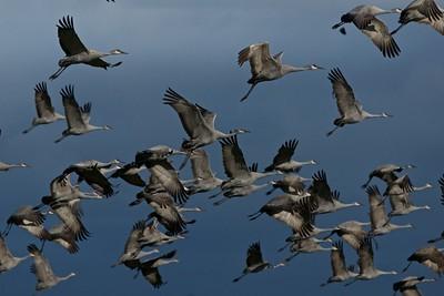 Lesser Sandhill Cranes Merced NWR