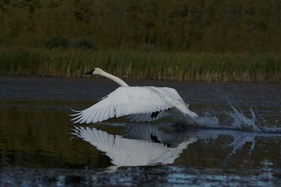 Trumpeter Swan, Alberta Canada