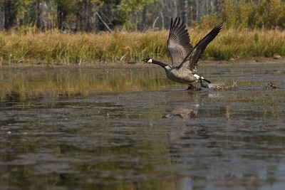 Canadian Goose along the Snake River, Grand Teton National Park