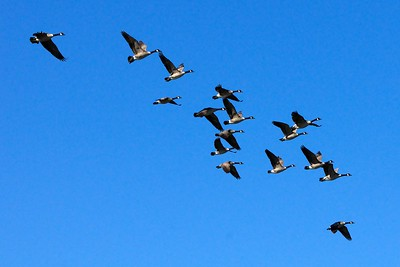 Canada Geese Watsonville Wetlands