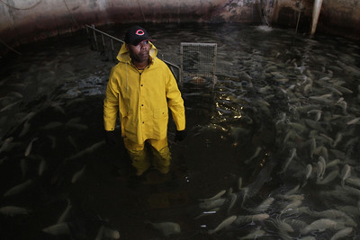 """Christopher Stubblefield works to crowd and harvest Tilapia on the Taylor Fish Farm on Monday morning. Stubblefield is a good friend of the Taylor family and has been working on the farm for seven years. """"It's a family farm,"""" said Taylor."""