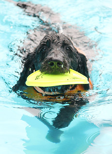 Zepplan brings a frisbee to owner Bayard Atwood during the annual dog swim at A.D. Clark Pool Saturday.