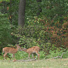 A pair of baby deer on their own along Elm Street enjoy the easy-to-reach, plentiful leaves near the woods Wednesday. The National Weather Service predicts the same, mid-80s temperatures for today. <br /> Mark Newman