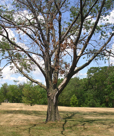Mark Newman/The Courier<br /> While some Ottumwa trees are doing fine, others are struggling this season due to a variety of factors.