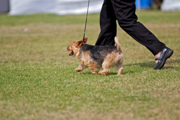 .Other Norwich Terriers