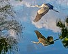 Reflection of a Blue Heron In Flight