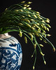 Flowering Chinese Chives