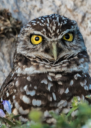 Burrowing Owls - January 26,  2018