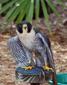 Peregrine Falcon Sharon 2 of 6