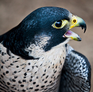 Peregrine Falcon 5 of 8 Sandy Friedkin