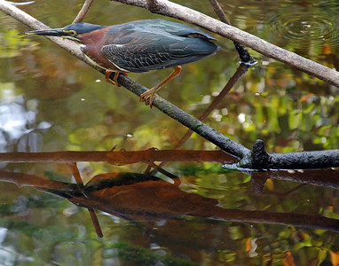 Green Heron Sharon 1 of 6