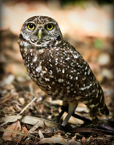 Burrowing Owl 4 of 8 Sandy Friedkin