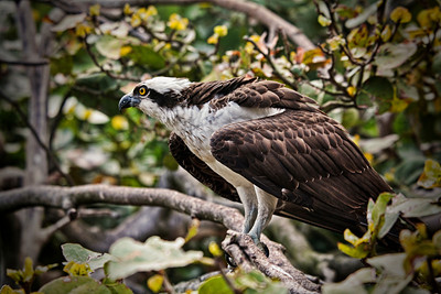 Osprey 1 of 8 Sandy Friedkin