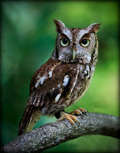 Screech Owl 3 of 8 Sandy Friedkin