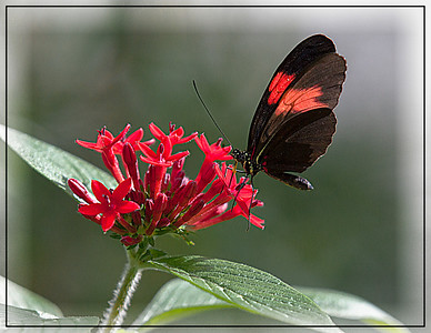 Black & Red Butterfly Sandy
