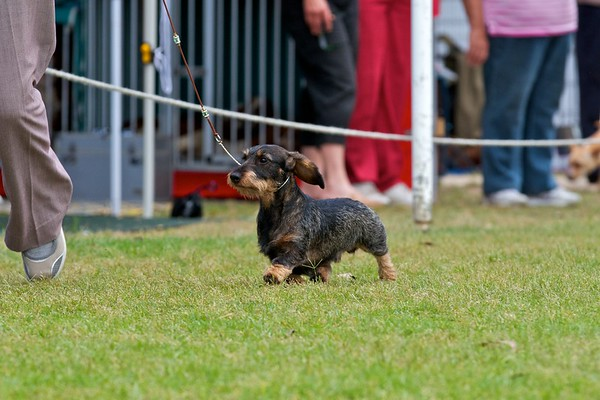 .Other Dachsund (Miniature Wire Haired)