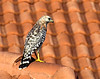 Arthur Schreibman - Red Shouldered Hawk