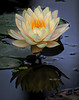 4. Water Lily - Mike Packman