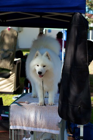 .Other Samoyeds