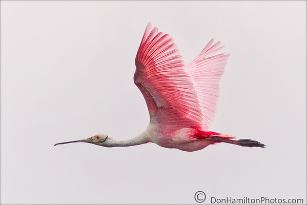Roseate Spoonbills  -  April 6, 2018