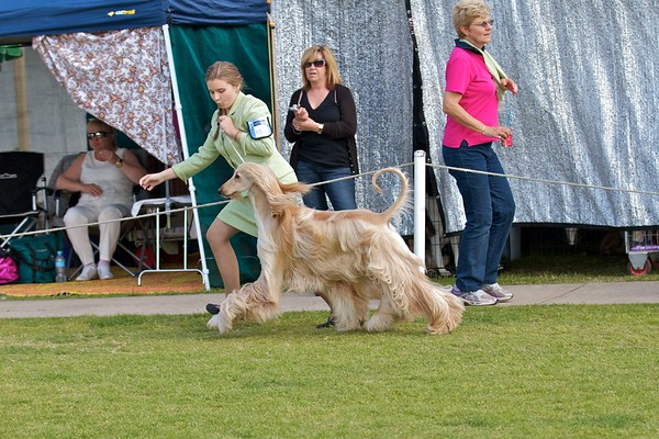 .Other Afghan Hounds