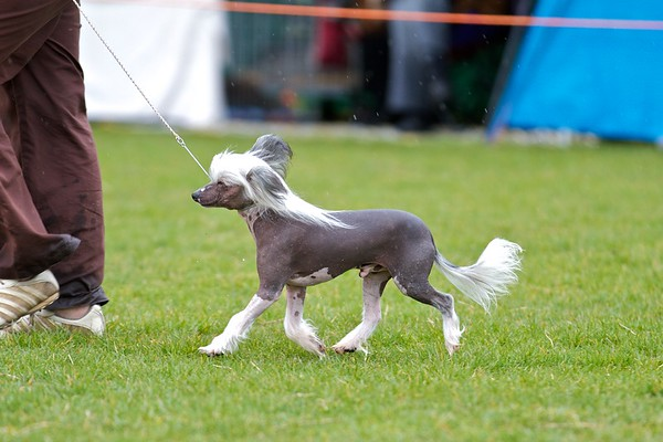 .Other Chinese Crested Dogs