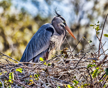 Great Blue Heron Nesting Sandy Friedkin