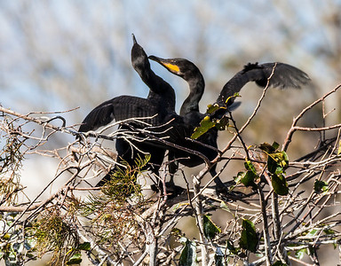 Cormorant Pair #2 Sandy Friedkin