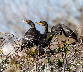 Cormorant Pair#1 Sandy Friedkin