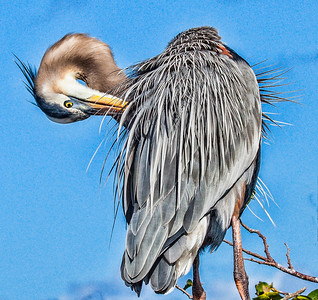 Great Blue Preening Sandy Friedkin
