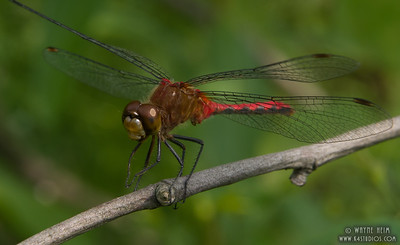 Dragonfly on a Branch   Photography by Wayne Heim