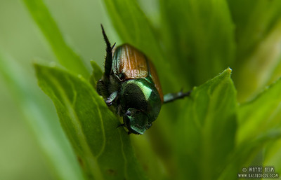 Japanese Beetle   Photography by Wayne Heim