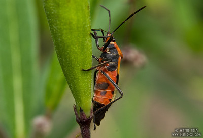 Milkweed Bug   Photography by Wayne Heim
