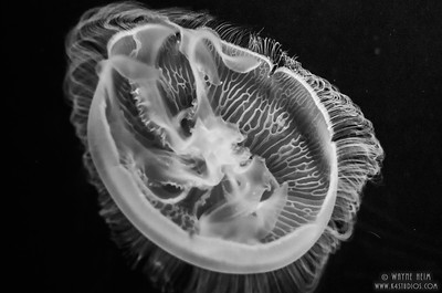 Black & White Jellyfish   Photography by Wayne Heim