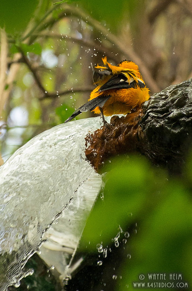 Black & Orange Fly Catcher    Photography  by Wayne Heim