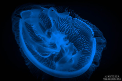 Jellyfish     Photography by Wayne Heim