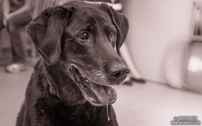 Black Lab   Photography by Wayne Heim