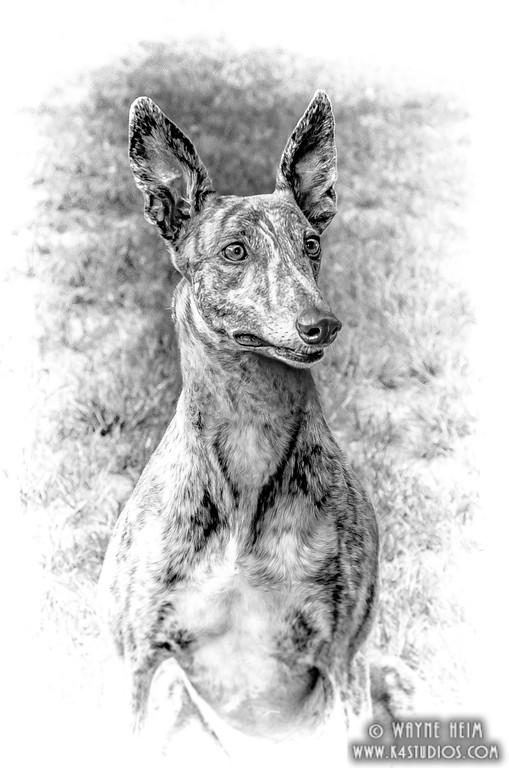 Greyhound   Photography by Wayne Heim