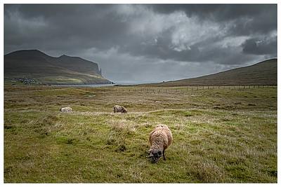 Grazing Faroe Sheep   Photography by Wayne Heim