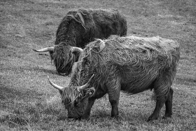 Faroe Cattle   Black and White Photography by Wayne Heim