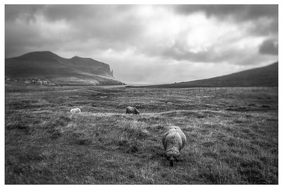 Faroe Sheep     Black and White Photography by Wayne Heim