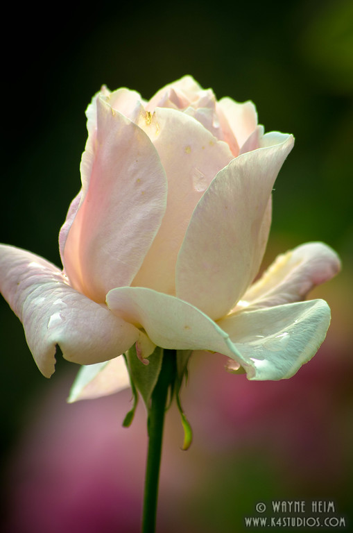White Rose   Photography by Wayne Heim