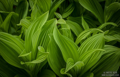 Green False Hellebore     Photography  by Wayne Heim