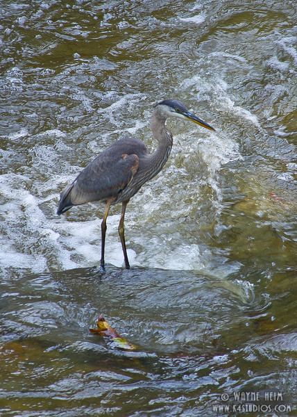 Great Blue Heron     Photography by Wayne Heim